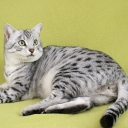 Egyptian Cat Mau