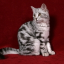 European Shorthair Cat