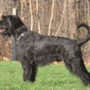 Giant Schnauzer Pure black