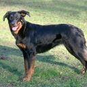 Beauceron (Berger de Beauce)