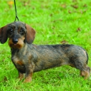 Dachshund Miniature/ Rabbit Wired haired