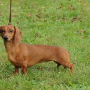 Dachshund Miniature / Rabbit Smooth haired