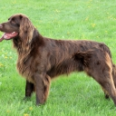 German Long haired Pointing Dog
