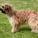 Long Haired Pyrenean Sheepdog